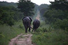Elefanti nel parco nazionale di Hwage, Zimbabwe, elefante, zanne, casetta dell'occhio del ` s dell'elefante immagine stock libera da diritti