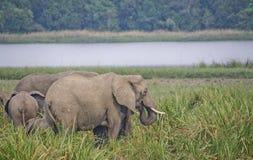 Elefanti nel selvaggio Immagini Stock