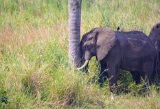 Elefanti nel selvaggio Immagini Stock Libere da Diritti