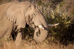 Elefanti nel selvaggio in Kwazulu Natal Fotografia Stock