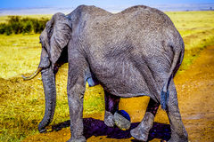 Elefanti nel Serengeti Fotografia Stock Libera da Diritti