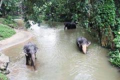 Elefanti nello Sri Lanka Fotografia Stock Libera da Diritti