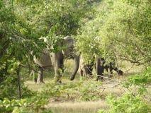 Elefanti nello Sri Lanka Due giovani elefanti asiatici nel parco nazionale, Sri Lanka Elefanti asiatici su erba con le montagne e immagine stock