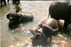 Elefanti Pinnawela/Sri Lanka Fotografia Stock
