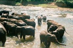 Elefanti Pinnawela/Sri Lanka Immagini Stock Libere da Diritti