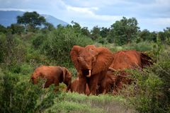 Elefanti rossi africani sulla savanna, Africa, Kenya Immagine Stock Libera da Diritti