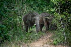 Elefanti selvaggi Immagine Stock