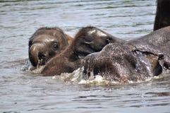 Elefanti selvaggi Immagine Stock Libera da Diritti