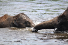 Elefanti selvaggi Fotografia Stock