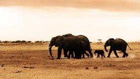 Elefanti selvaggi africani Fotografie Stock Libere da Diritti