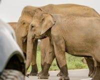 Elefanti selvaggi che attraversano strada Fotografia Stock