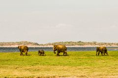 Elefanti selvaggi che camminano per il bagno Immagine Stock