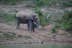 Elefanti selvaggi con il bambino Fotografie Stock Libere da Diritti
