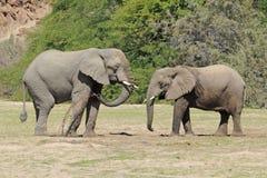Elefanti selvaggi del deserto in Namibia Africa Fotografia Stock