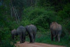 Elefanti selvaggi di camminata Immagini Stock