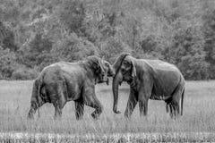 Elefanti selvaggi felici romantici Fotografie Stock