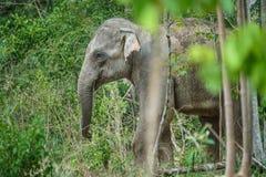 Elefanti selvaggi in foresta del parco nazionale di Kuiburi, Prachuabkirik Immagini Stock