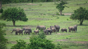 Elefanti selvaggi nel campo di erba Fotografia Stock Libera da Diritti