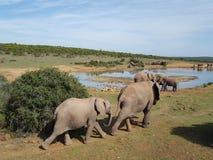 Elefanti in Sudafrica Immagini Stock Libere da Diritti