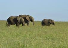 3 elefanti sulla savanna Fotografia Stock Libera da Diritti