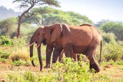 Elefanti sulla savanna, Kenya Immagini Stock