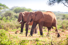 Elefanti sulla savanna, Kenya Fotografia Stock