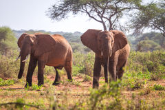 Elefanti sulla savanna, Kenya Immagine Stock