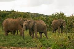 Elefanti sulla savanna, Masai Mara, Kenia Fotografia Stock Libera da Diritti