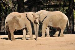 Elefanti in un giardino zoologico Fotografia Stock