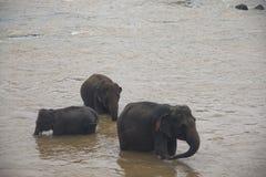 Elefanti in un orphenage nello Sri Lanka fotografia stock