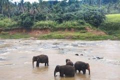 Elefanti in un orphenage nello Sri Lanka Immagini Stock