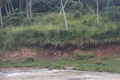 Elefanti in un orphenage nello Sri Lanka Fotografie Stock