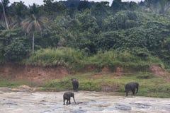 Elefanti in un orphenage nello Sri Lanka Fotografia Stock Libera da Diritti
