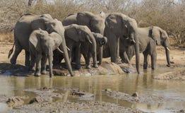 Elefanti a waterhole Immagine Stock Libera da Diritti