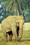 elefantindier royaltyfria bilder