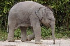 Elefantjugendlicher Stockfotografie