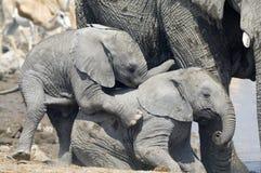 Elefantkalb Lizenzfreie Stockfotos