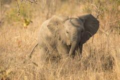 Elefantkalv från framdel Royaltyfria Bilder