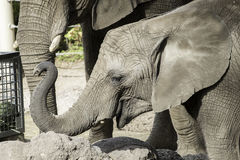 Elefantkalv med den lyftta stammen Royaltyfri Bild