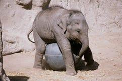 Elefantkalv som spelar med den Bio bollen - parkera zoo Arkivbilder