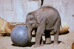 Elefantkalv som spelar med en Bio boll - parkera zoo, NM Royaltyfri Fotografi