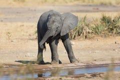 Elefantkalvdricksvatten på torr och varm dag Royaltyfria Bilder