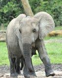 Elefantkalven Royaltyfria Foton
