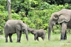 Elefantkalven med elefantkon den afrikanska Forest Elephant, Loxodontaafricanacyclotis På den Dzanga saltdammet (en skogcle Arkivbilder