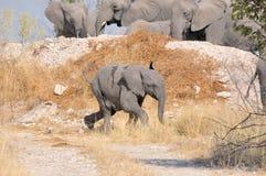 Elefantkalvspring Arkivfoto