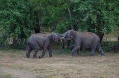 Elefantkamp i djurlivpsrk arkivbilder