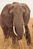 elefantkenya mum royaltyfria bilder