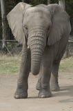 elefantknysna royaltyfria foton