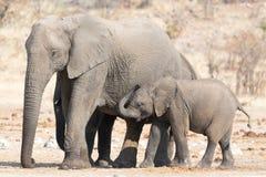 Elefantko med unga barnet Fotografering för Bildbyråer