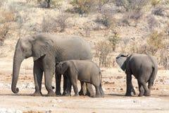 Elefantko med ungt barn två Arkivfoton